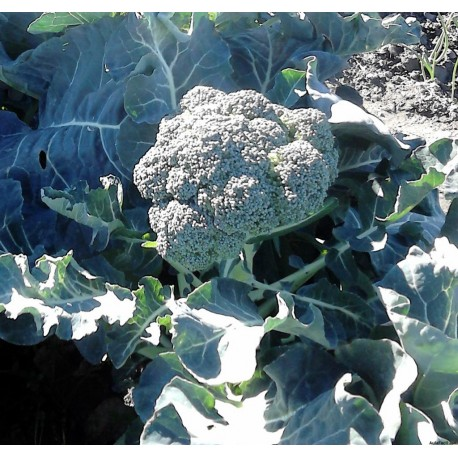 Brócoli Ecologico