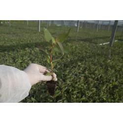Eucalyptus Nitens