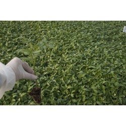 Tomate Hibrido F1 Ecologico